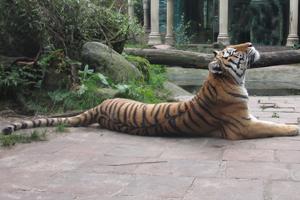 bedreigd diersoort tijger spreekbeurt